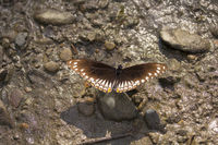 Common mine, Papilio sp, Papilionidae, Near Gurjee, Tripura