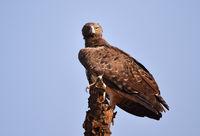 Kampfadler in Kenia