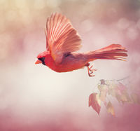 Northern Cardinal Flying  ,watercolor painting
