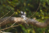Crested kingfisher, Ceryle lugubris. Corbett Tiger Reserve, Uttarakhand, India