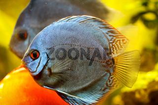 Diskusfische im Aquarium. Discus sind Fische aus der Gattung Symphysodon.