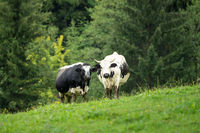 Two black and white cows are standing in the green pasture