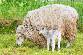 White sheep with newborn lamb in meadow