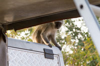 Vervet monkey sitting on a car in Botswana
