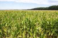 Fresh cob of ripe corn green field