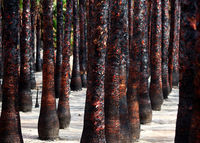 Black burned palm trees trunks in a row