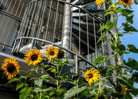 Sonnenblumen in der Stadt