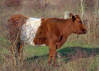 Lakenvelder Rind in einer natürlichen Umgebung