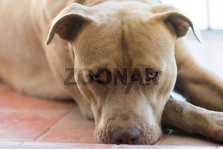 Beautiful brown pitbull terrier dog