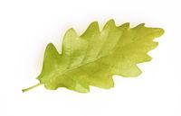 Eichenblatt, Eichen, Quercus, Robur