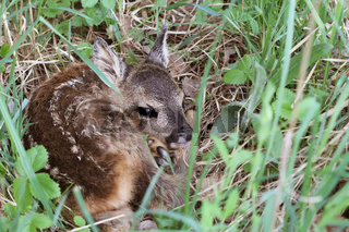 Little deer in the grass. Capreolus capreolus. .Wildlife scene from nature