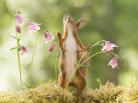 red squirrel is looking up between columbine