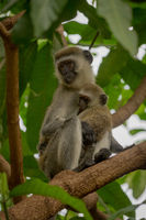 Vervet monkey mother with baby in branches