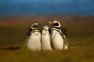 Magellanic penguins with a juvenile standing near a burrow