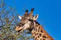 South African giraffe, Africa wildlife safari