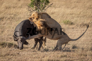Two male lion attack buffalo from behind