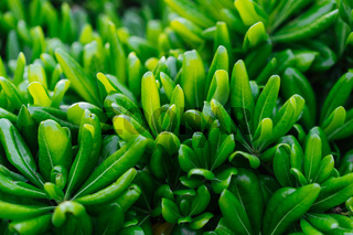 Green decorative plant with long leaves, macro photography