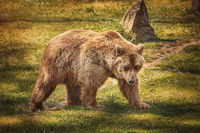 Brown bear on the green grass