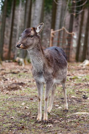 European mouflon in the German forest