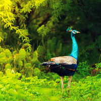 Peacock in Bundala national park. Sri lanka