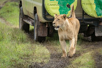 Lioness lifts head while passing parked jeep