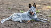 Australian Cattle Dog male resting near a ball.