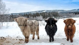 Highland Cattle bei Eis und Schnee