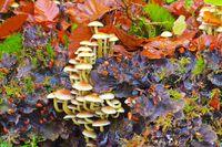 Grünblättrige Schwefelkopf, Hypholoma fasciculare - clustered woodlover or Hypholoma fasciculare in autumn forest