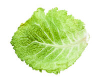 back side of green leaf of savoy cabbage isolated