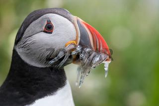 Papageitaucher mit Fisch auf Island