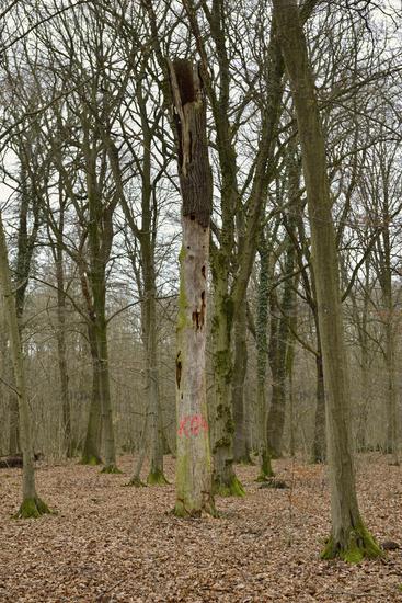 Lebensraum der Bechsteinfledermaus... Hambacher Forst *Nordrhein-Westfalen*