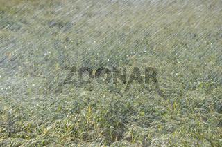 kühles Nass... Bewässerung *Rekordsommer*, Bewässerung / Beregnung eines Getreidefeldes
