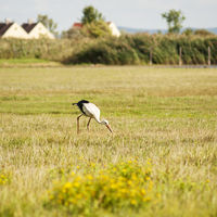 Stork hunting in a meadow in Burgenland austria
