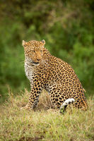Leopard sits on grass bank looking back
