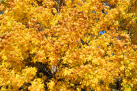 Autumn maple tree with yellow leaves