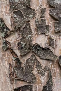 rissige und spröde Baumrinde - Nahaufnahme