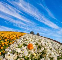 The field of garden buttercups