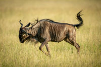 Blue wildebeest frolics in grass in sunshine