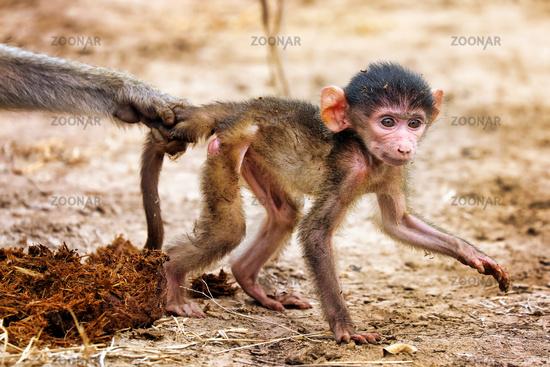 Steppenpavian wird von Mama gestoppt, South Luangwa Nationalpark, Sambia, (papio cynocephalus) | baboon stooped by his mom, South Luangwa National Park, Zambia, (papio cynocephalus)