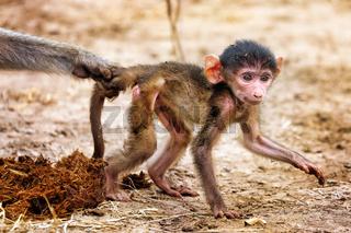 Steppenpavian wird von Mama gestoppt, South Luangwa Nationalpark, Sambia, (papio cynocephalus)   baboon stooped by his mom, South Luangwa National Park, Zambia, (papio cynocephalus)