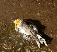Insectivorous birds have died during cold periods