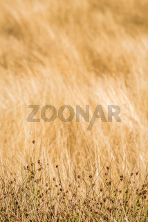 Yellow hay in the field