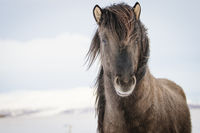 Brown Icelandic horse in the snow