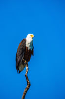 African fish eagle on blue sky