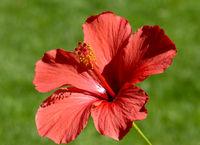 Hibiscus rosa-sinensis, Roseneibisch