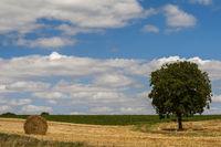Walnussbaum (juglans regia) im Getreidefeld