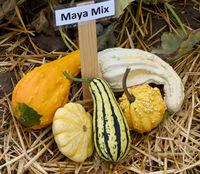 Maya Mix, Zierkuerbis, Kuerbis