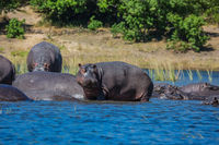 Hippos resting in cool water