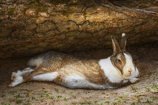The rabbit lies on the ground