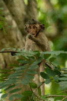 Baby long-tailed macaque sucks thumb on branch